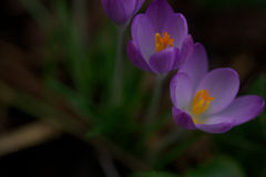 Close up of a crocus flower Royalty Free Stock Photo
