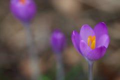 Close up of a crocus flower stock photo