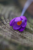 Close up of a crocus flower stock photos