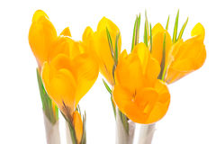 Close up of Crocus on white background. Royalty Free Stock Photography