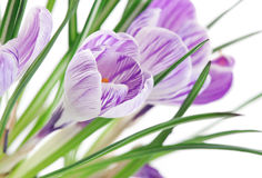 Close up of crocuses Royalty Free Stock Photography