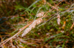 Close-up of crop spike. Single crop spike with forest grass in the background Royalty Free Stock Image