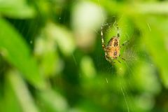 Cross Spider. Close-up of a Cross Spider, seen from the bottom Royalty Free Stock Photography