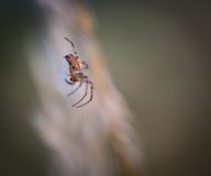 Close up of cross spider sitting on his web stock image