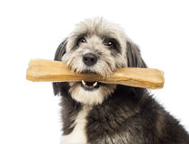 Close-up of a Crossbreed, 4 years old, holding a bone its a mouth Stock Photo