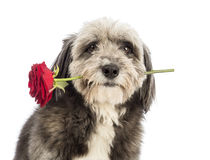 Close-up of a Crossbreed, 4 years old, holding a red rose in its mouth Royalty Free Stock Images