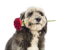 Close-up of a Crossbreed, 4 years old, holding a red rose in its mouth Stock Photography