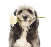 Close-up of a Crossbreed, 4 years old, holding a white rose in its mouth Royalty Free Stock Photography