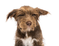 Close-up of a Crossbreed, 5 months old, with closed eyes, disgusted Royalty Free Stock Images