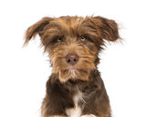 Close-up of a Crossbreed, 5 months old, looking at camera Stock Photos