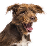 Close-up of a Crossbreed, 5 months old, yawning Stock Photo