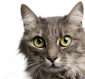 Close-up on a Crossbreed angora cat and european c Royalty Free Stock Photography