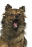Close up of a Crossbreed dog between a Chihuahua and a Loulou is Stock Photo