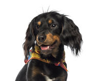 Close-up of a Crossbreed dog panting, looking away, isolated Royalty Free Stock Photo