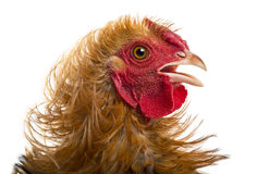 Close-up of Crossbreed rooster, Pekin Royalty Free Stock Images