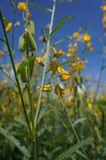 Crotalaria juncea Royalty Free Stock Photography