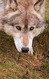 Close Up Crouching Timber Wolf stock photography