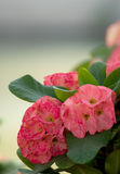 Close Up of Crown of thorns, Christ Thorn , poi sian flowers Stock Photo