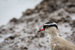 Close up of a Crowned lapwing. Royalty Free Stock Image