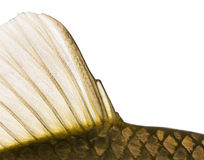 Close-up of a Crucian carp caudal fin, Carassius carassius. Isolated on white Stock Images