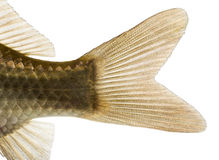 Close-up of a Crucian carp's caudal fin, Carassius carassius. Isolated on white Stock Photography