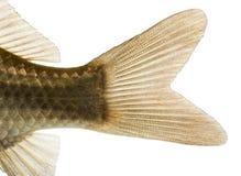 Close-up of a Crucian carp's caudal fin, Carassius carassius stock photography