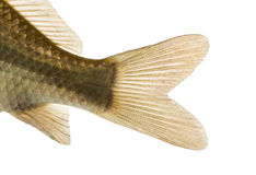 Close-up of a Crucian carp's caudal fin, Carassius carassius. Isolated on white Stock Image