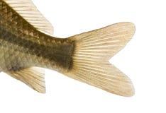 Close-up of a Crucian carp's caudal fin, Carassius carassius stock image