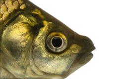 Close-up of a Crucian carp's head, Carassius carassius stock photo