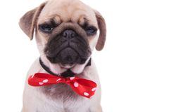 Close up of crying pug wearing red bowtie with white dots stock images
