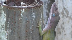 Close up of a Cuban Chameleon stock footage