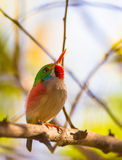 Close-up of a Cuban Tody. The Cuban Tody (Todus multicolor) is a cuban endemic species and among the most beautiful and colorful of the world stock photos