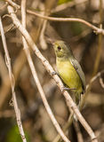 Close-up of a Cuban Vireo Stock Photography