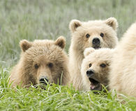 Close up of cubs Stock Image