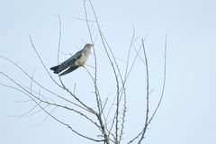 Cuckoo. The close-up of a Cuckoo stands on winter branch. Scientific name: Cuculus canorus bakeri royalty free stock images
