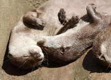 Close up of cuddling sleepy Oriental Short Clawed Otters Stock Photography