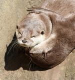Close up of cuddling sleepy Oriental Short Clawed Otters Stock Photo