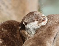 Close up of cuddling sleepy Oriental Short Clawed Otters Royalty Free Stock Image