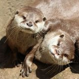 Close up of cuddling sleepy Oriental Short Clawed Otters Stock Photos