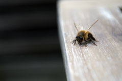 Close up of a curious bee Royalty Free Stock Photography