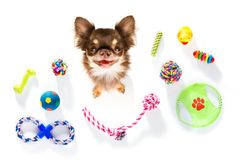 Close up curious dog looks up with toys Royalty Free Stock Image