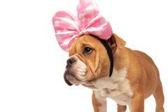Close up of curious english bulldog with pink ribbon headband Stock Photos
