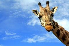 Close-up of a curious giraffe over blue sky Royalty Free Stock Photo