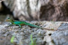 Curious lizard on a rock stock images