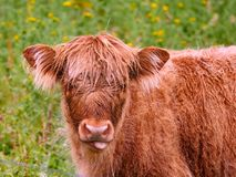 Young highland cow looking at the camera. Close up of a curious highland calf in a green field. Cute hairy highlander chewing some grass while grazing on the stock photography