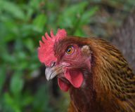 Close up of a Curious Red Chicken. With an angry and inquisitive expression royalty free stock image