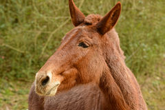 Close-up of a curious red mule. Stock Photos