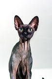 Close up of a curious sphynx hairless cat Stock Photos
