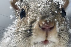 Close-up of a curious squirrel on a cold winter day in New England stock photos
