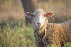 Close-up of curious white ewe on leash looking directly at camera. Cute sheep with friendly face. Shallow depth of field. Horizontal close-up photo of curious royalty free stock images